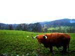 Edingburgh: Hamish the bull (Highlands)
